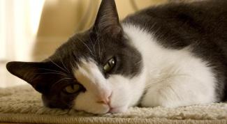 Как вывести блох у кота