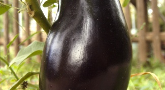 How to water the eggplants