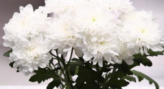 Как вырастить хризантемы из семян