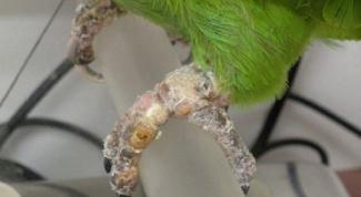 Как лечить попугайчика от клеща