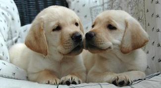 Как выбрать щенка ретривера