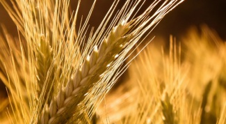 How to germinate barley