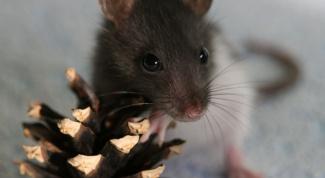 Как отличить крысу-мальчика от крысы-девочки