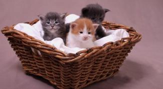 Как выбрать породу котенка