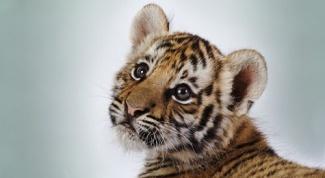 Как назвать тигренка