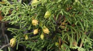 How to grow juniper from seed