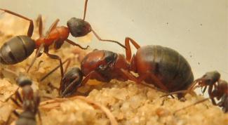 Как избавиться от желтых муравьев