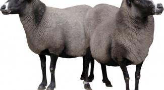 Как кормить овец