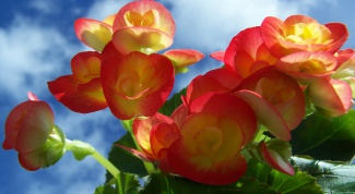 How to transplant begonias