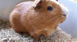 How to distinguish Guinea pig a boy from a girl