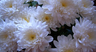 How to keep cut chrysanthemum