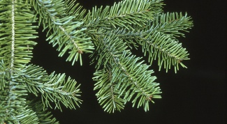 How to distinguish spruce from fir