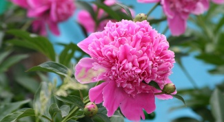 How to take a tincture of a peony