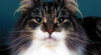 Как надеть попону на кошку