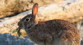 How to set a snare for a rabbit