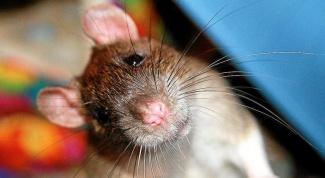 сделать клетку для крысы