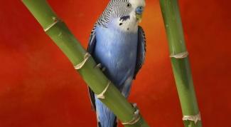Как приручить взрослого волнистого попугая