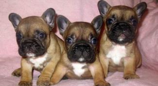 Как кормить щенка французского бульдога