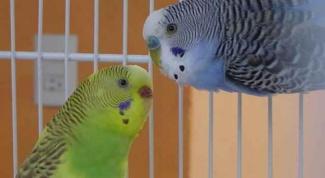 Как свести попугаев