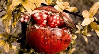 Как посадить семена граната