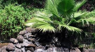 Как размножить пальму