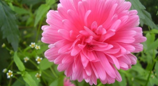 How to plant asters