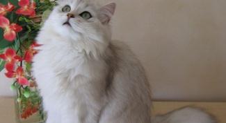 Как лечить почки у кошек