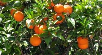 Как вырастить апельсиновое дерево в 2018 году