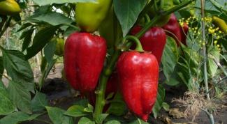 Как выращивать рассаду сладкого перца