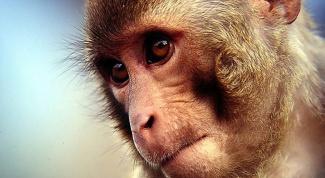 Как купить обезьяну