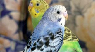 Как определить возраст попугайчика