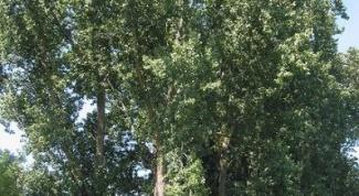 How to remove poplar
