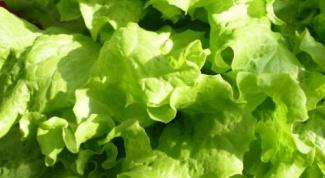 Как вырастить листья салата