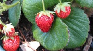 Как высаживать садовую землянику