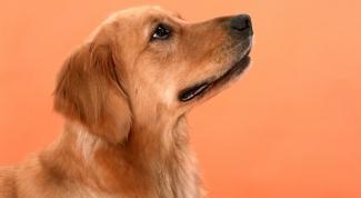 Что делать, если собака воет