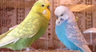Как научить попугая летать