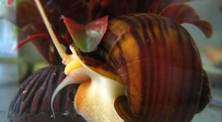 Как ухаживать за аквариумной улиткой
