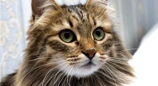 Как ухаживать за сибирской кошкой