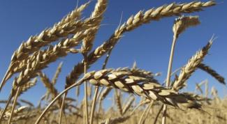 Что делают из пшеницы