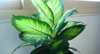 How to water the dieffenbachia