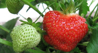 How to propagate wild strawberries