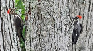 Почему дятла называют лесным доктором