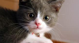 Как давать смекту котенку