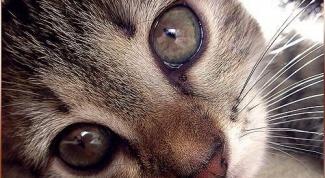 Что делать, если слезятся глаза у котенка