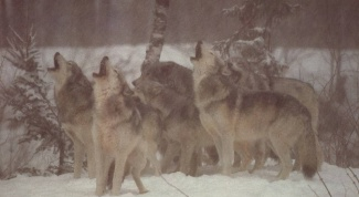 Why wolves howl