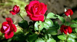 Как хранить черенки роз