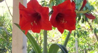 Как заставить цвести гиппеаструм