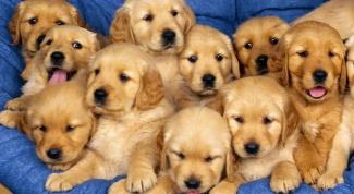 Как приобрести щенка