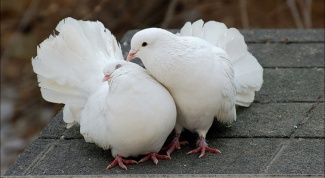 How to treat bertacco in pigeons