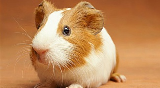 How to drink a Guinea pig